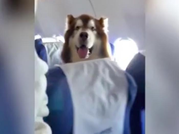 собака-поводырь в самолёте