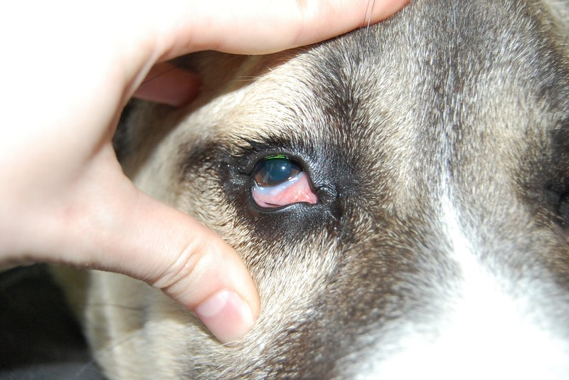 Почему у собаки красные белки глаз — главные причины
