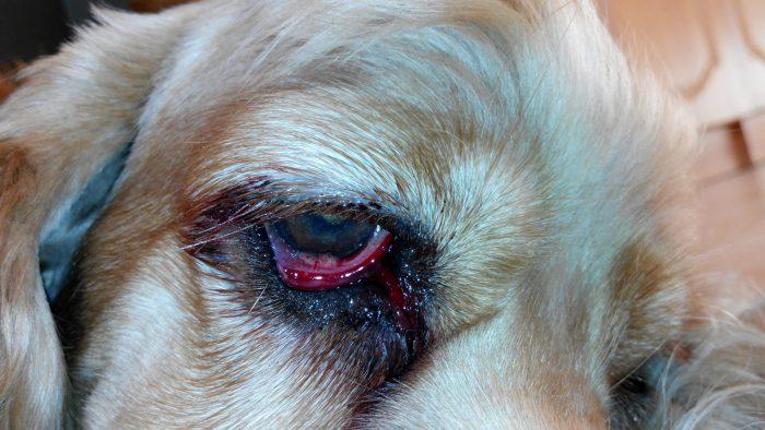 Воспаленный глаз собаки