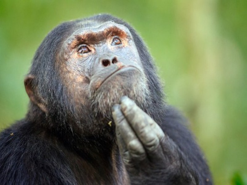 Самка шимпанзе из китайского зоопарка стала самой чистоплотной обезьяной в мире