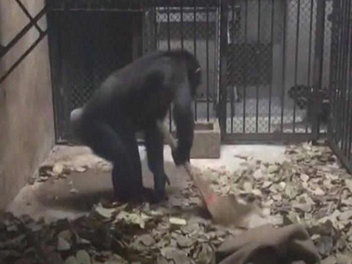 обезьяна убирается