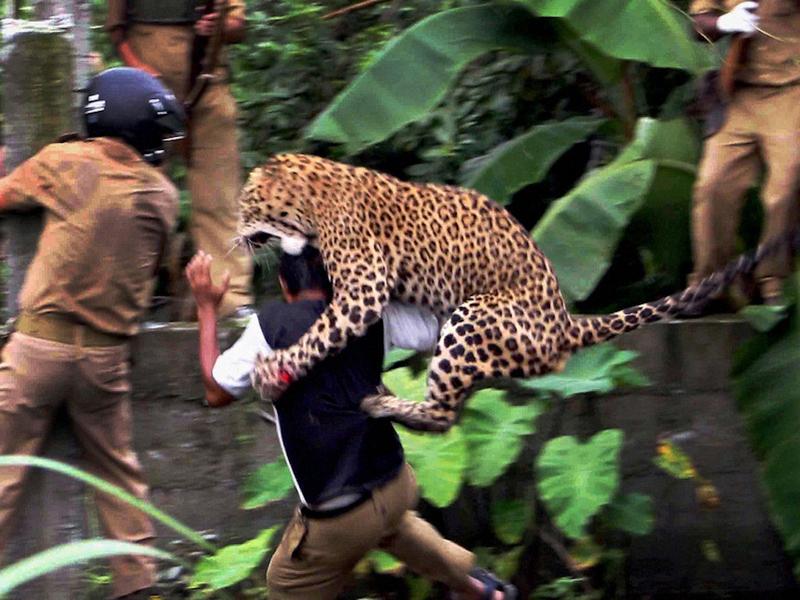 Дикий леопард навёл панику на местных жителей в индийском районе Насик