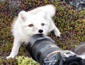 Белоснежный песец заинтересовался камерой натуралиста