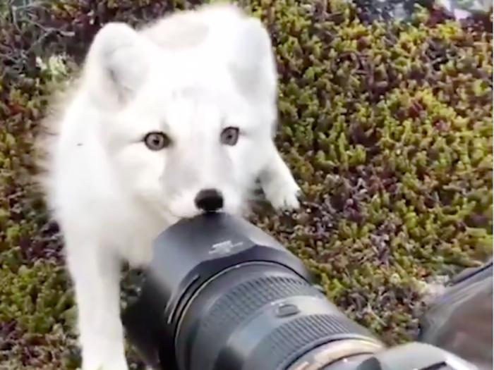 Лиса кусает камеру