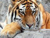 Как «охотится» полосатый хищник в Ленинградском зоопарке