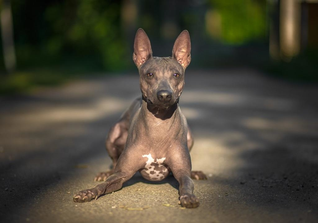 Американский голый терьер — необычный потомок древних собак-крысоловов