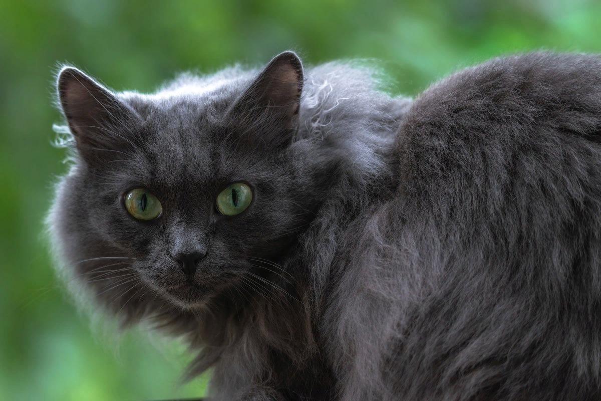 Кошки породы нибелунг  внешний вид нрав и особенности ухода