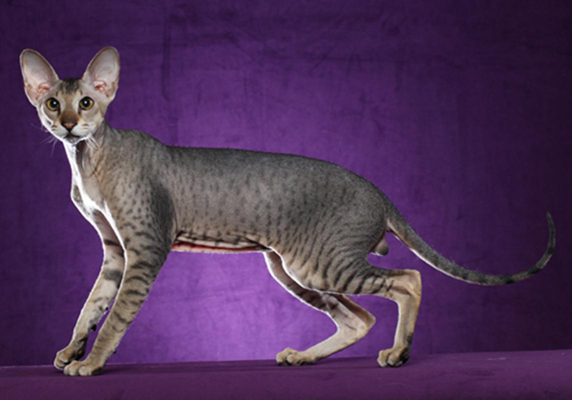 Петерболд — петербургский сфинкс: новая порода кошек