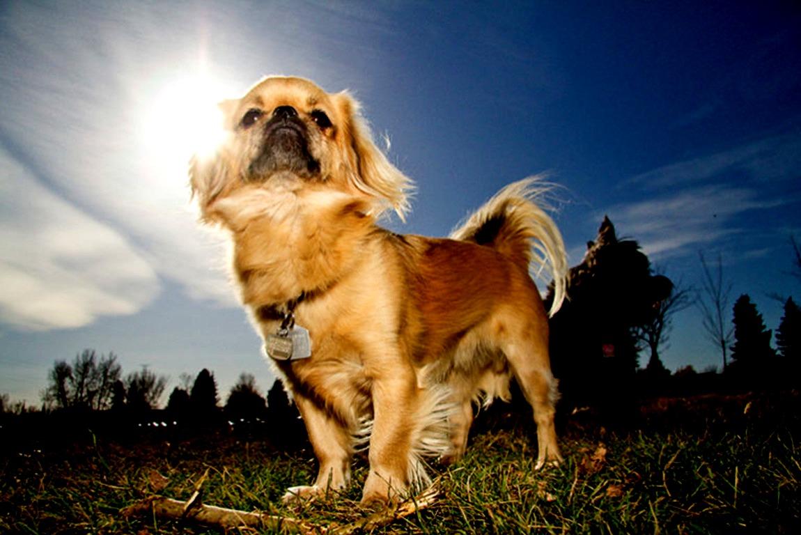 Тибетский спаниель — маленькая собака с огромным сердцем
