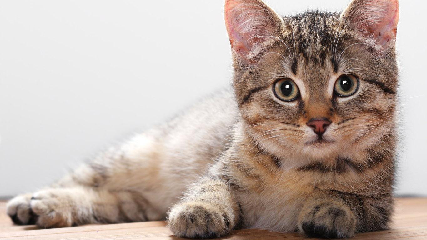 Лиарсин для кошек: свойства и подробная инструкция по применению