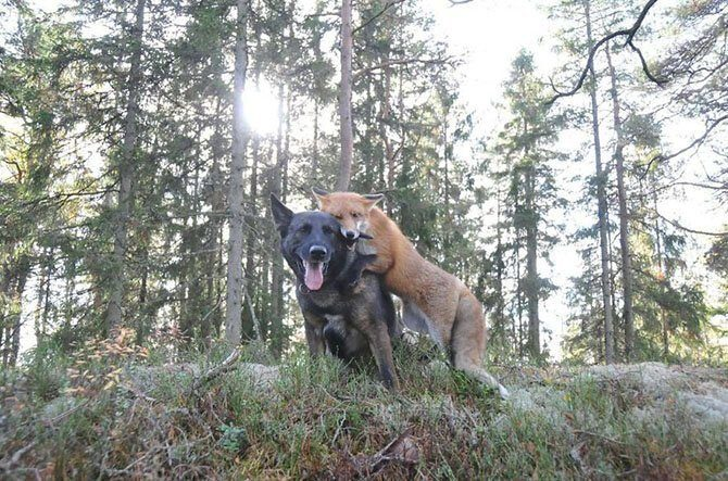 Лиса Сниффер и собака Тинни