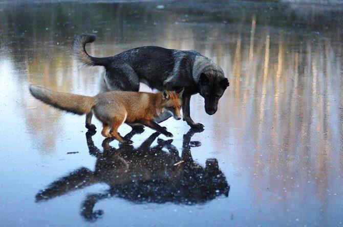 Дружба собаки и лисы