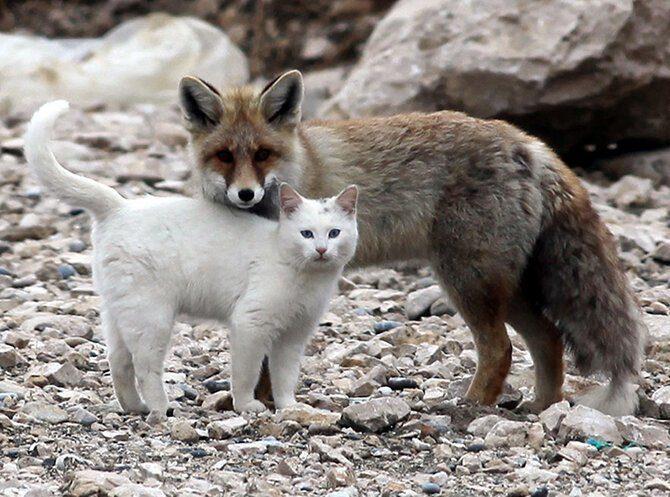 Дружба кошки и лисы