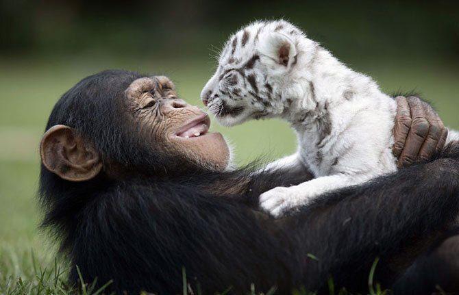 Дружба обезьяны и тигрёнка