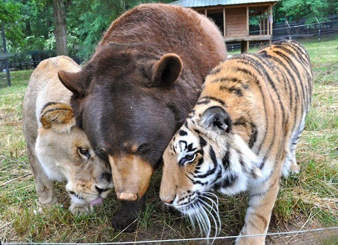 Дружба льва, медведя и тигра