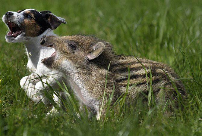 Кабанчик и щенок