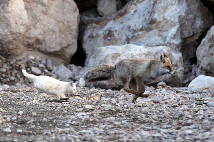 Необычная дружба кошки и лисы