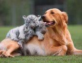 Собака и тигрята