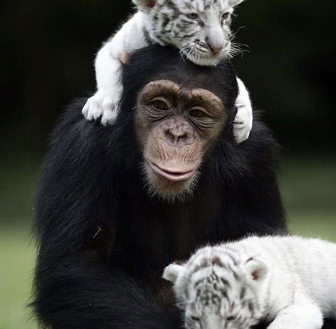Обезьяна и тигрята