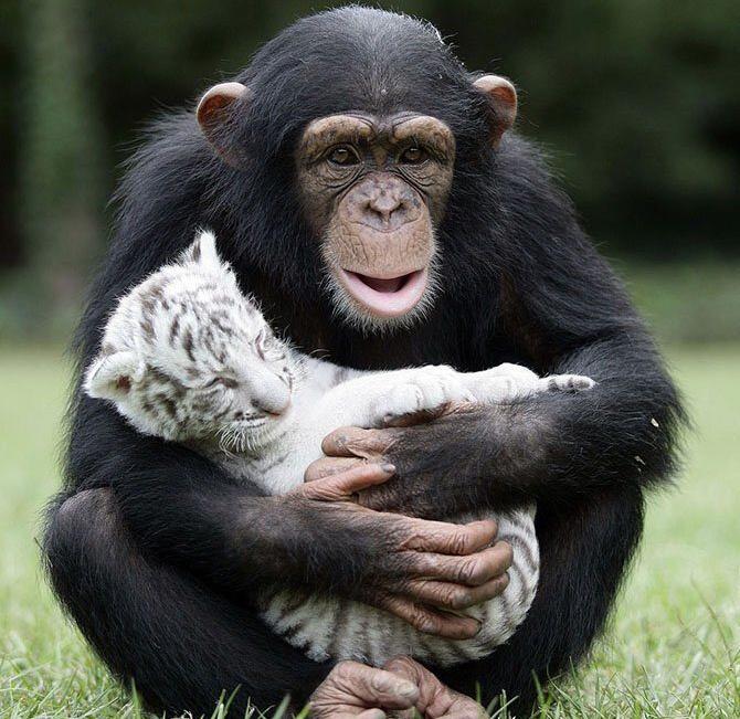 Белый тигрёнок и обезьяна