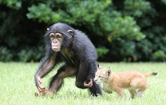 Дружба обезьяны и шимпанзе