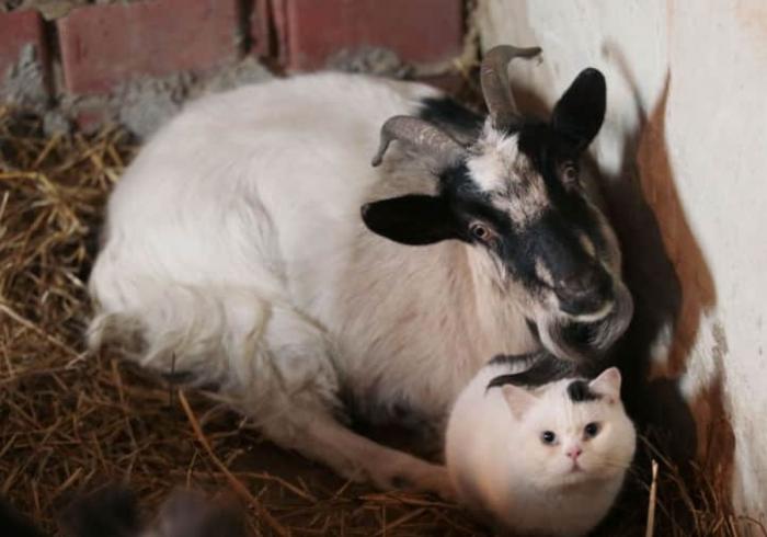 Дружба козы и кота