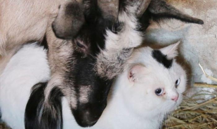 Дружба кота и козы