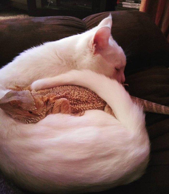 Дружба кота и агамы