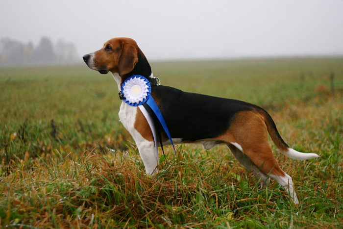 Эстонская гончая собака