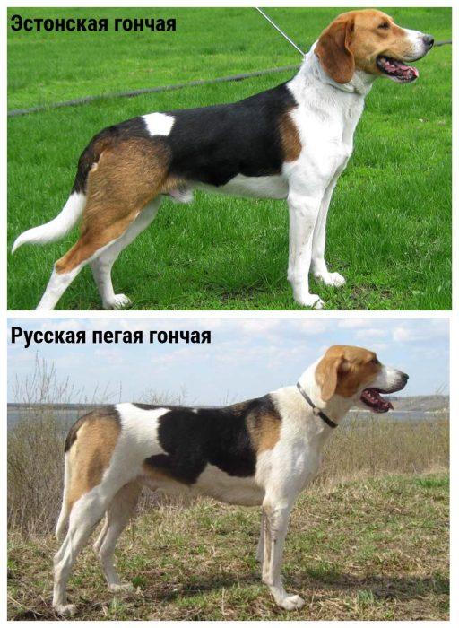 Эстонская гончая и русская пегая гончая собаки