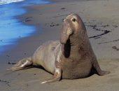 Полицейские из Калифорнии помогли заблудившемуся морскому слону