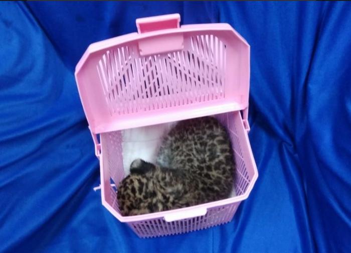 Детёныш леопарда