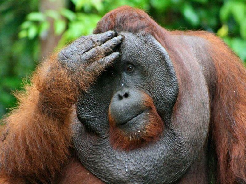 Неверная: самка орангутана родила детёныша от соседа по вольеру