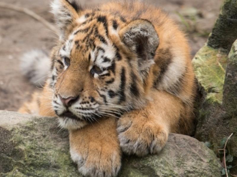 Детёныша редкого вида тигра нашли мёртвым в Хабаровском крае