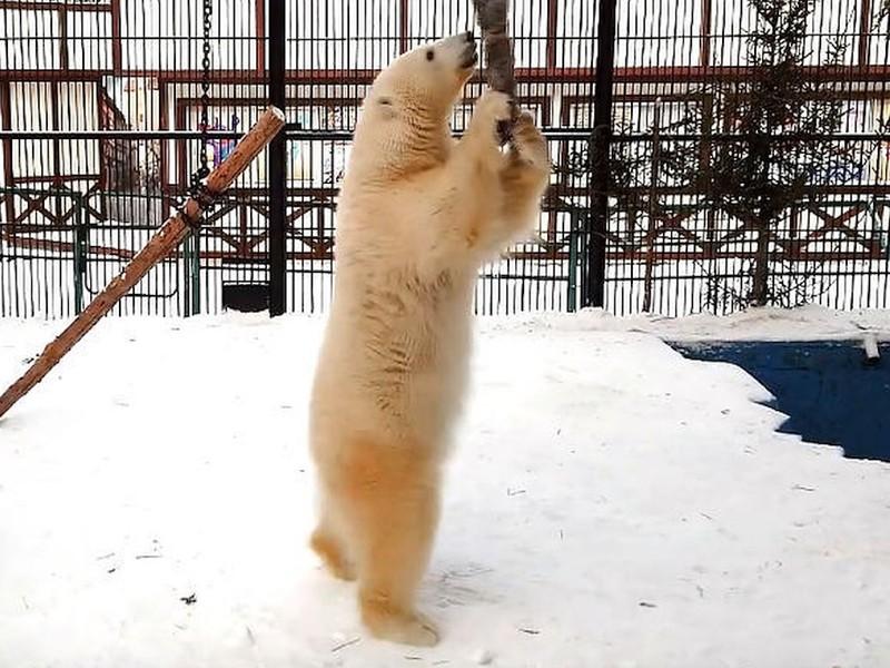 Спасённая медведица из Диксона освоилась на новом месте и научилась давать лапу
