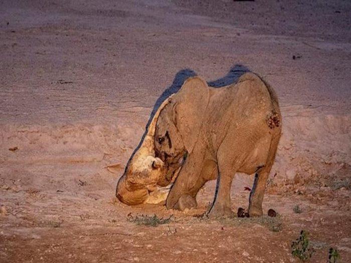 Слонёнок и львица