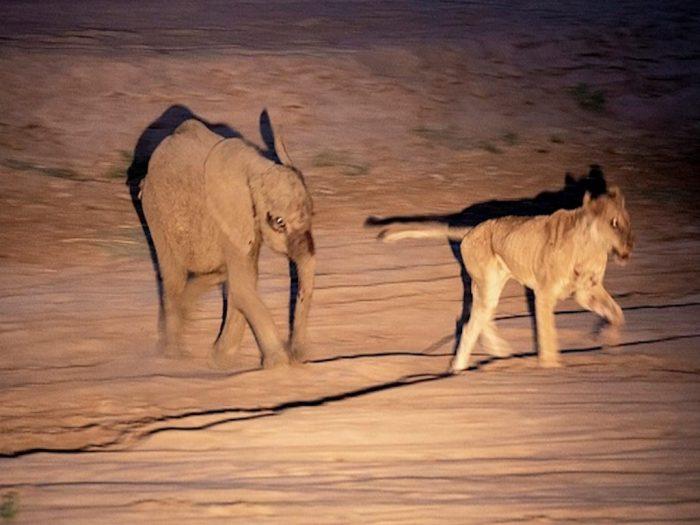 Слон прогоняет хищницу