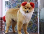 У шпица из Таиланда отвалилось ухо после посещения салона красоты для животных