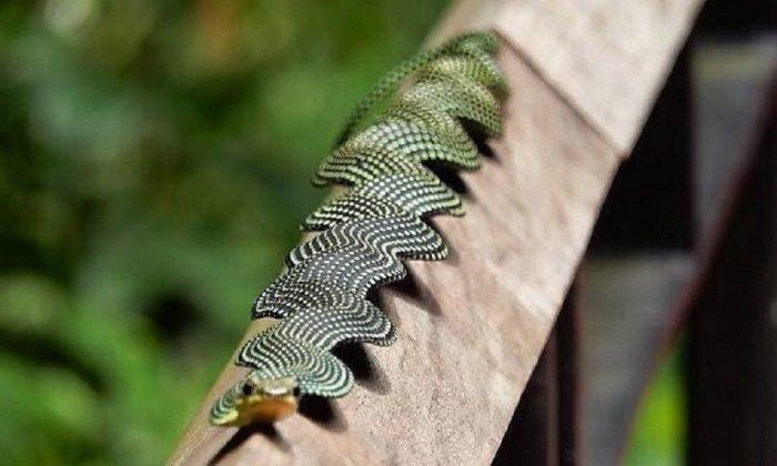 Райская летающая змея