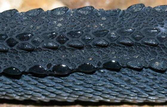 Яванский ксенодерм