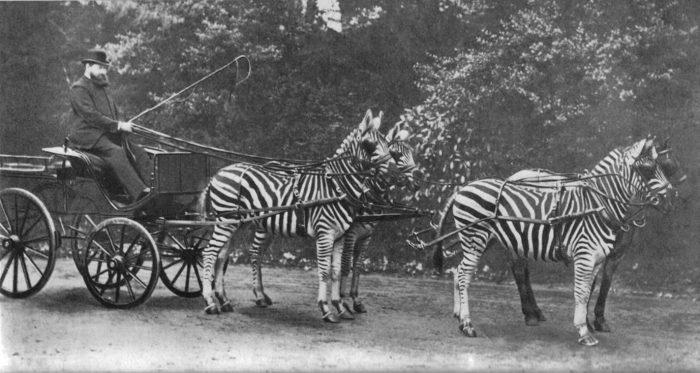 Упряжка из зебр