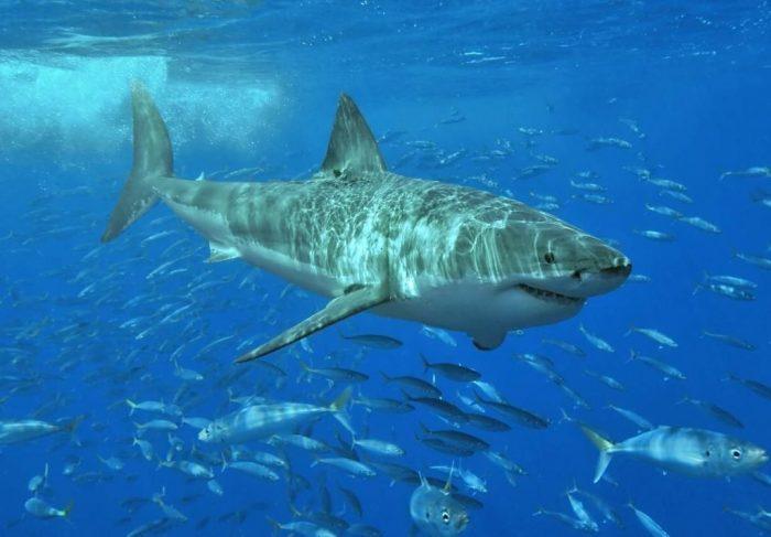 Большая белая акула в косяке рыб