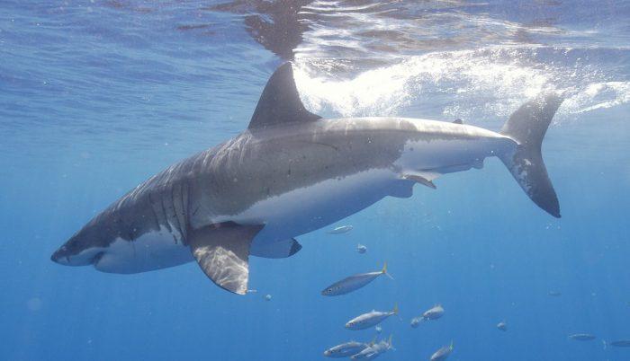 Большая белая акула в воде