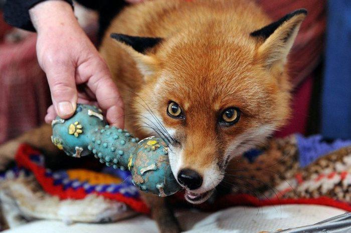Лиса грызёт игрушку