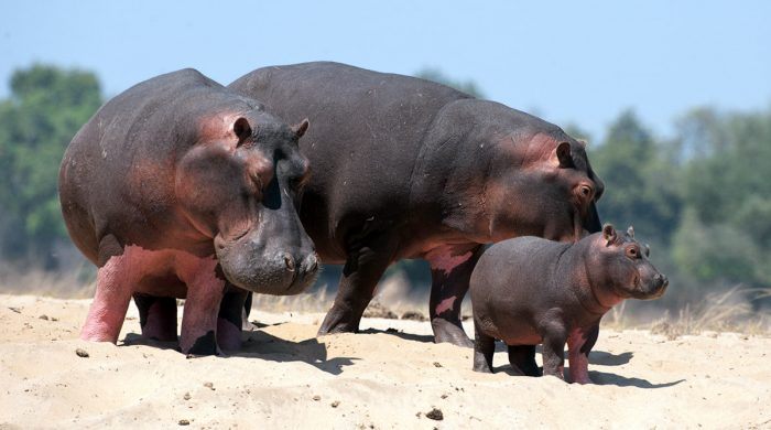 Бегемоты с детёнышем