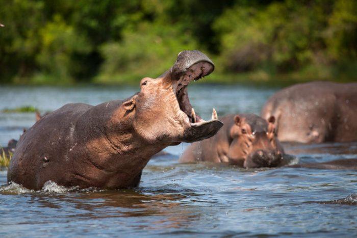 Бегемоты в воде