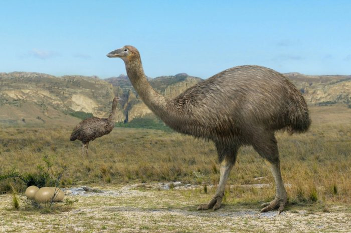 мадагаскарский страус
