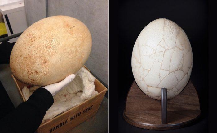 Яйцо мадагаскарского страуса