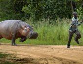 Бегемот бежит за человеком