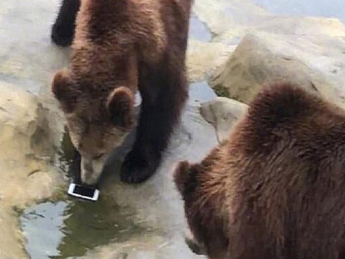Медведи и телефон